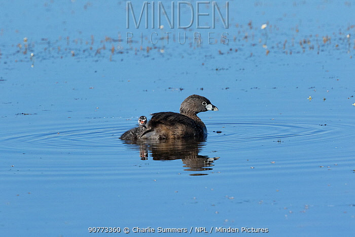 Pied-billed grebe (Podilymbus podiceps) chick pausing while climbing up onto its parent's back. North Park, Colorado, USA.
