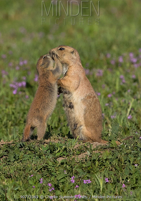 Black-tailed prairie dog (Cynomys ludovicianus) pup showing affection toward adult female. Parker, Colorado, USA.