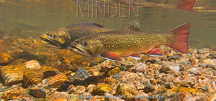 Brook Trout (Salvelinus fontinalis) pair in a high mountain stream in Colorado, USA.