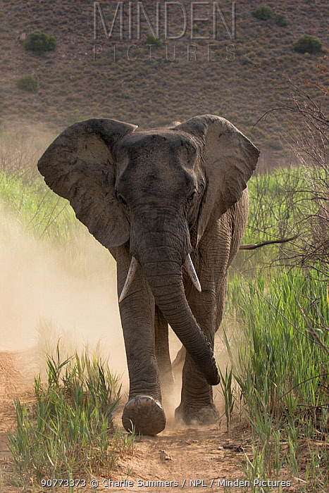 African elephant (Loxodonta africana) charging down a dirt road kicking up lots of dust, Sanbona Wildlife Reserve, South Africa.