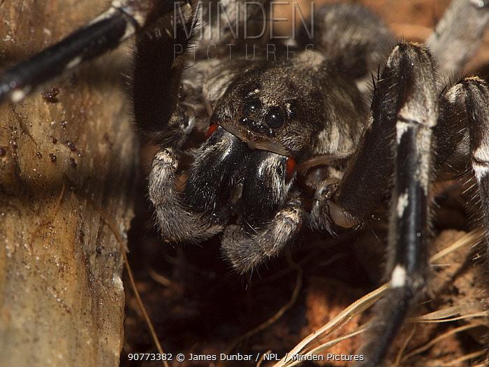 Desertas Grande Wolf Spider (Hogna ingens) close up portrait, Captive. Native to Desertas Grande Islands, Madiera