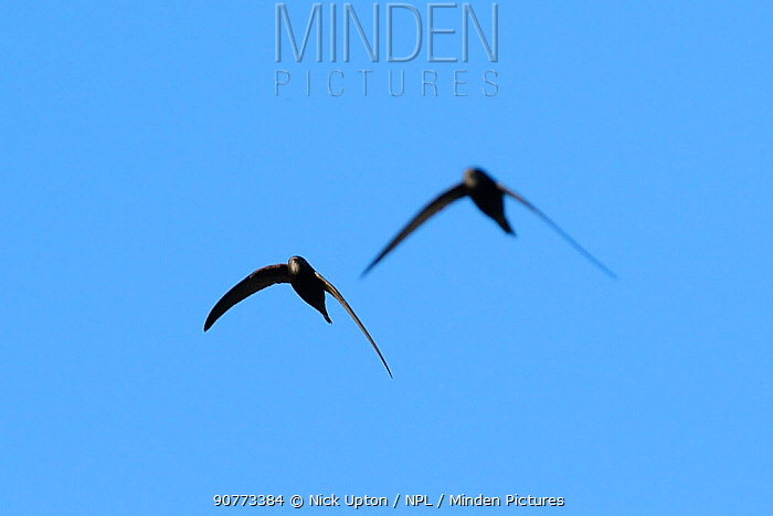 Common swift (Apus apus) pair in flight overhead, Wiltshire, UK, June.