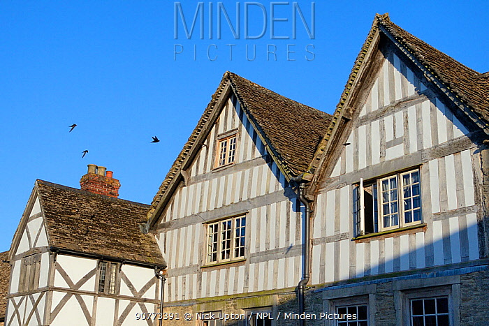 Common swift (Apus apus) group flying past an old half-timbered house with several swift nests under the roof at dusk, Lacock, Wiltshire, UK, June.