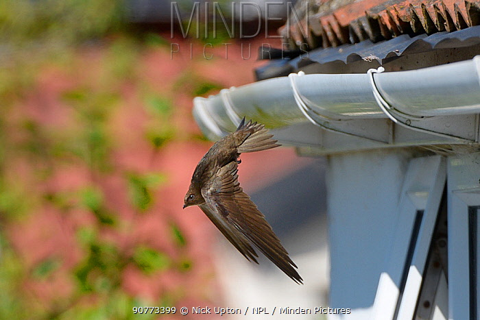 Common swift (Apus apus) flying from its nest site under roof tiles on an old cottage, Hilperton, Wiltshire, UK, July.