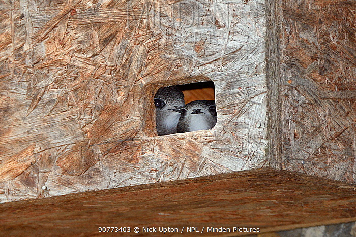 Two Common swift chicks (Apus apus), close to fledging, peering out from a nest box under the eaves of a cottage, Hilperton, Wiltshire, UK, July.