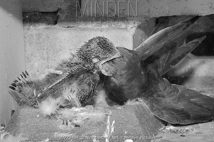 Common swift (Apus apus) feeding its chick in a nest box, Cambridge, UK, July.Photographed by infrared light.