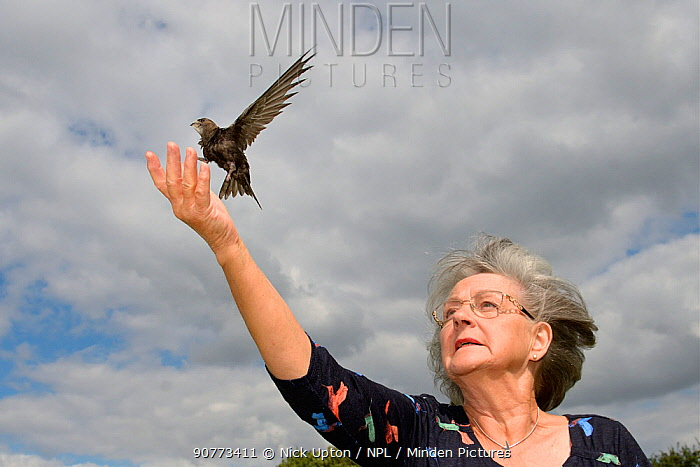 Judith Wakelam releasing an orphaned Common swift chick (Apus apus) she has fostered and fed with insects at her home until it was ready to fly, Worlington, Suffolk, UK, July. Model released.