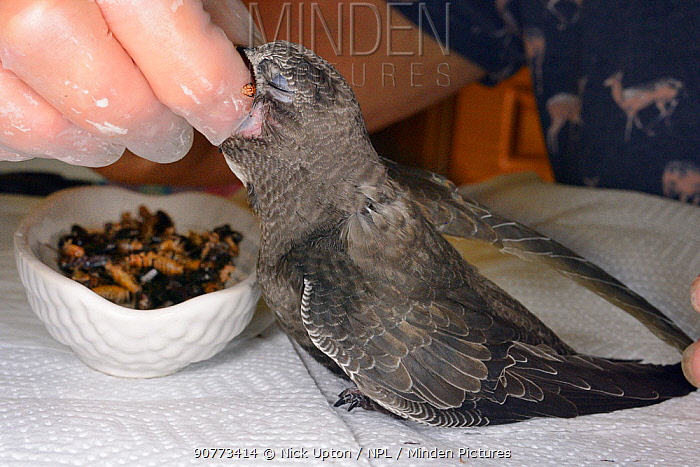 Orphaned Common swift chick (Apus apus)  hand fed with a cricket by Judith Wakelam in her home, Worlington, Suffolk, UK, July. Model released.