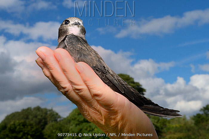Orphaned Common swift chick (Apus apus) on human hand during release, after being fostered and fed with insects until ready to fly by Judith Wakelam at her home, Worlington, Suffolk, UK, July. Model released.