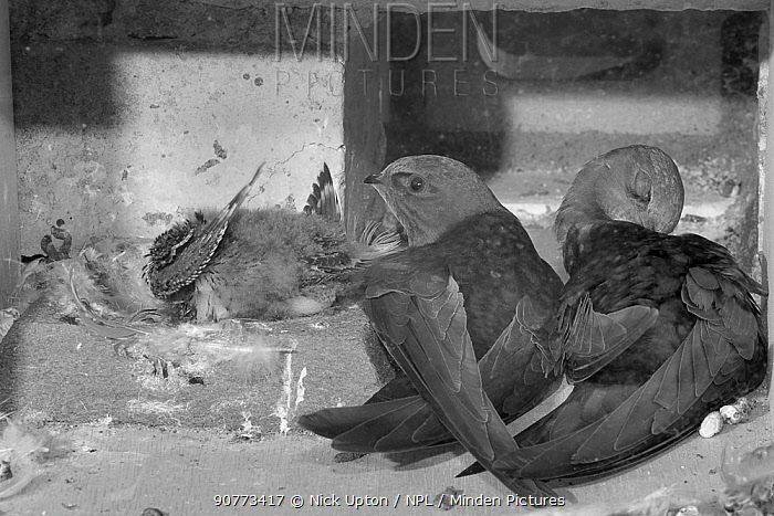 Common swift (Apus apus) pair resting and preening in their nest box alongside their chick, Cambridge, UK, July. Photographed by infrared light.