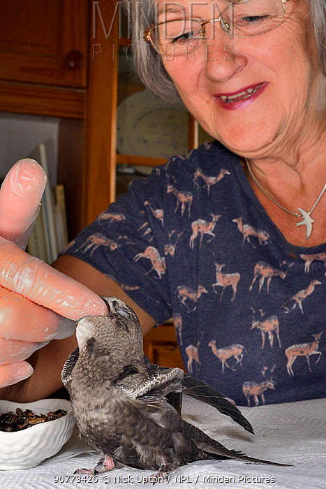 Judith Wakelam hand-feeding an orphaned Common swift chick (Apus apus) with insect food in her home, Worlington, Suffolk, UK, July. Model released.