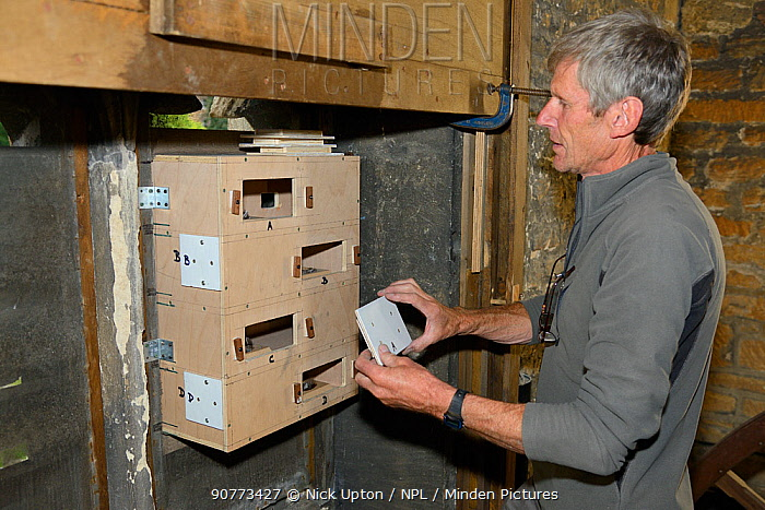 Peter Grayshon replaces inspection covers to a Common swift (Apus apus) nest box he's just helped to attach to a louvred window in the bell tower of Holy Trinity church, Bradford-on-Avon, Wiltshire, UK, June.