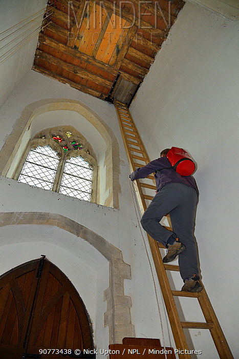 Simon Evans climbing a 40ft ladder to reach a church belfry with over 40 nestboxes for Common swifts (Apus apus) to ring the chicks, Worlington, Suffolk, UK, July. Model released.