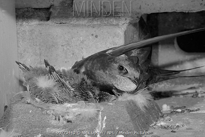 Common swift (Apus apus) with a throat pouch full of insects about to feed its chick in a nest box, Cambridge, UK, July. Photographed by infrared light.