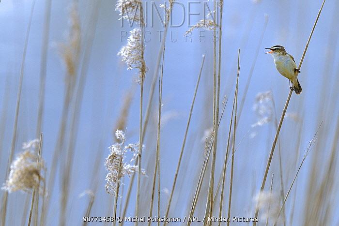 Sedge warbler (Acrocephalus schoenobaenus) adult singing in reedbed. Baie de Somme. France. April