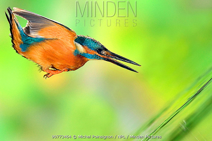 Kingfisher (Alcedo atthis) male fishing, diving for prey in a river, Lorraine, France, August