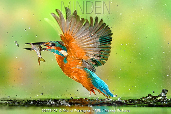 Kingfisher (Alcedo atthis) male, after diving, taking off from water with fish, a Common Roach (Rutilus rutilus) Lorraine, France, August
