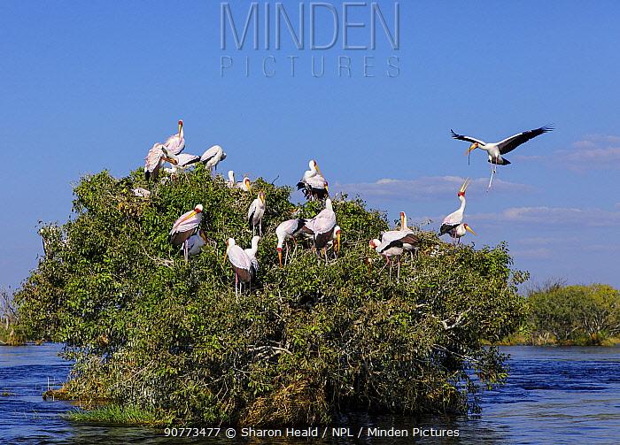 Yellow-billed stork  (Mycteria ibis) nesting colony, Chobe River Chobe National Park, Botswana. May.