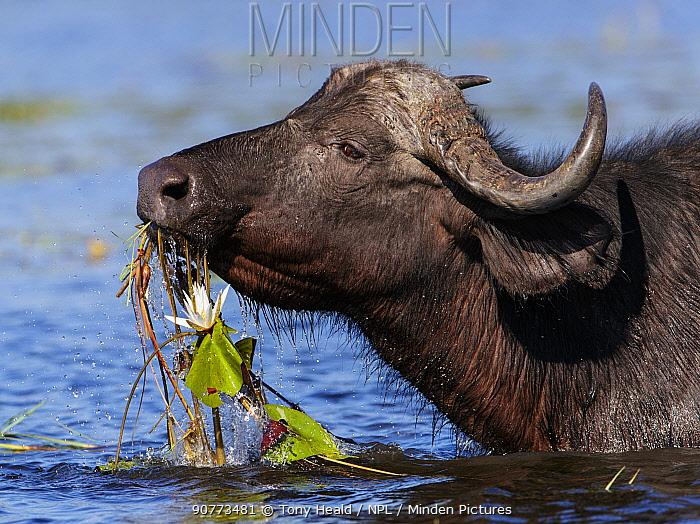 African buffalo (Syncerus caffer) feeding on water lillies in Chobe River, Chobe National Park, Botswana. May.
