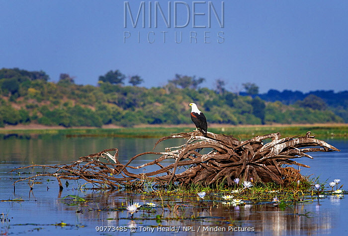 African fish eagle (Haliaeetus vocifer) on an upturned tree root in the Chobe River, Chobe National Park, Botswana. May.