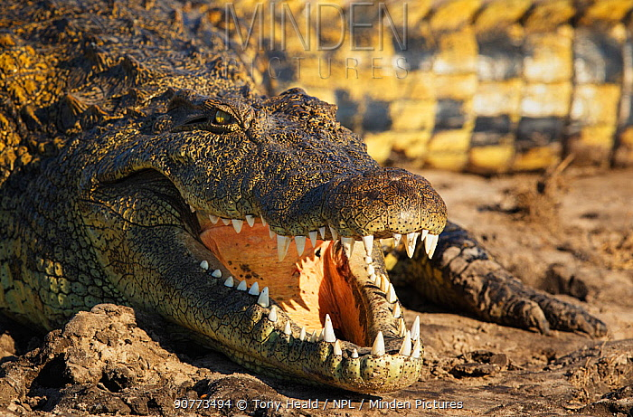Nile crocodile  (Crocodylus niloticus) Chobe National Park, Botswana, June.