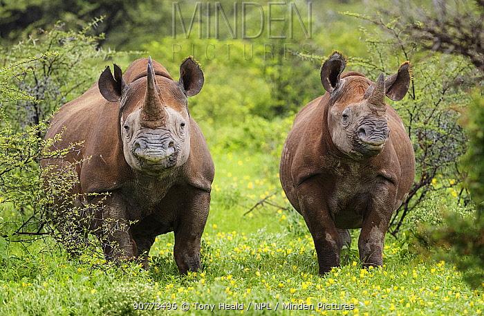 Black rhinoceros (Diceros bicornis) Etosha National Park, Namibia. March.