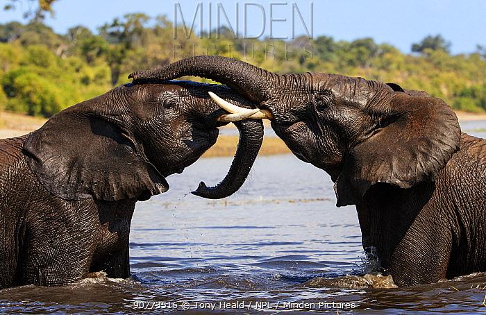 African elephant (Loxodonta africana) play fighting in Chobe River Chobe National Park, Botswana. May.