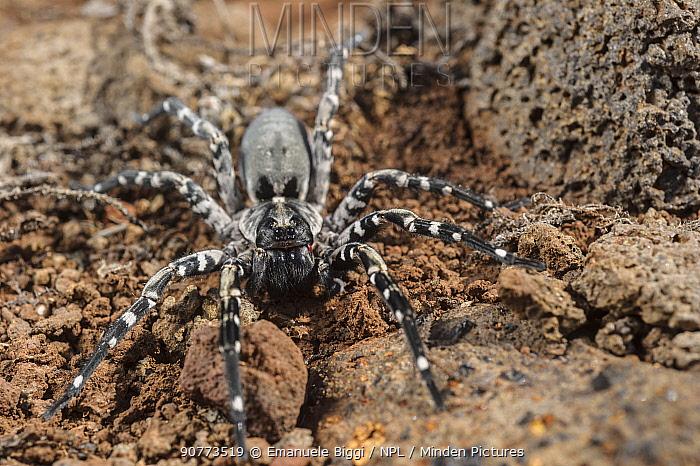 Male Deserta Grande wolf spider (Hogna ingens), Deserta Grande, Madeira, Portugal. Critically endangered.