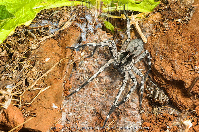 Male Deserta Grande wolf spider (Hogna ingens) in den with old moult material, Deserta Grande, Madeira, Portugal. Critically endangered.