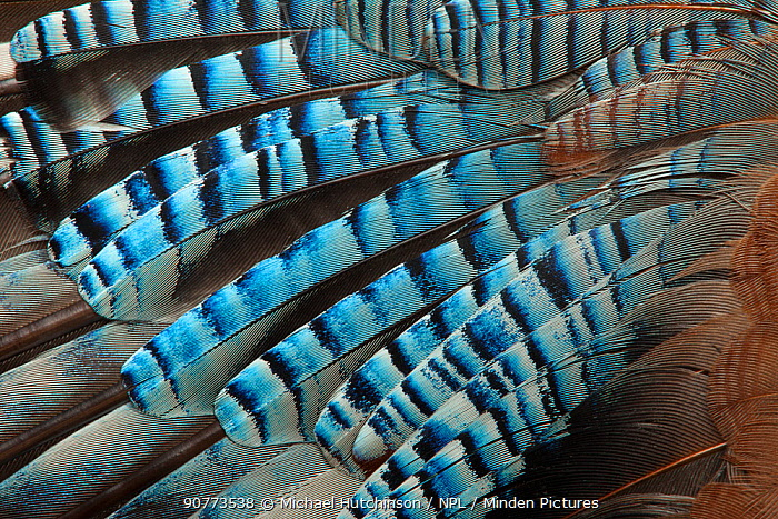 Close-up of a Jay's (Garrulus glandarius) wing, showing blue covert feathers.