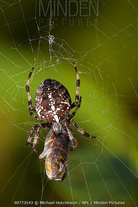 Garden spider (Araneus diadematus) eating a Common wasp (Vepsa vulgaris) caught in its web, Bristol, England, UK, September.