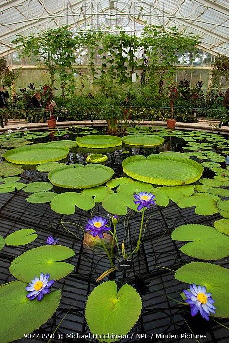 Lily pond containing Santa Cruz water lilies (Victoria cruziana) and 'Kew's Stowaway Blue' lillies (Nymphaea) in glasshouse, Kew Gardens, London, England, UK.