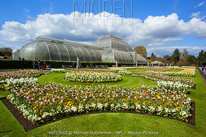 Palm House, with flowering Tulips (Tulipa) in the foreground, Kew Gardens, London, England, UK, April 2016.