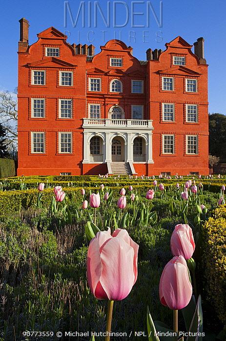 Flowering Tulips (Tulipa), with Kew Palace in the background, Kew Gardens, London, England, UK, April 2016.
