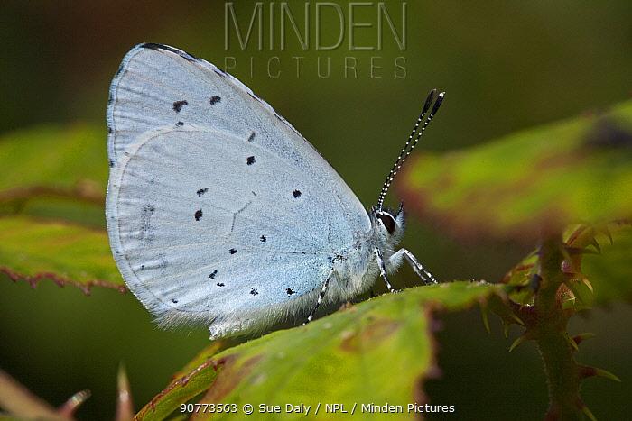 Holly blue butterfly (Celastrina argiolus), Sark, British Channel Islands, August.