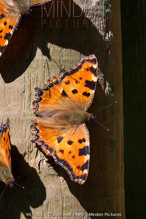 Large tortoiseshell (Nymphalis polychloros), Sark, British Channel Islands, July.