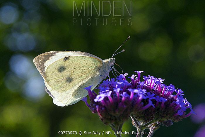 Large white butterfly (Pieris brassicae), Sark, British Channel Islands, August.