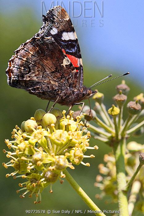 Red admiral butterfly (Vanessa atalanta) feeding on ivy, Sark, British Channel Islands, October.