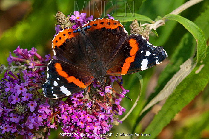 Red admiral butterfly (Vanessa atalanta) feeding on ivy, Sark, British Channel Islands, August.
