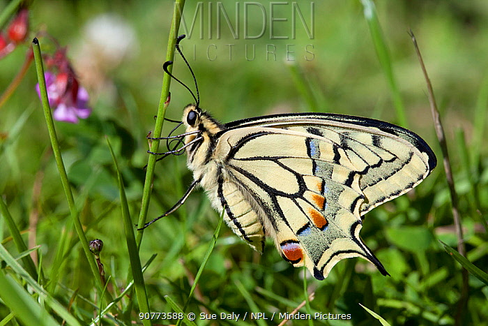 Swallowtail butterfy (Papilio machaon), Sark, British Channel Islands, July.