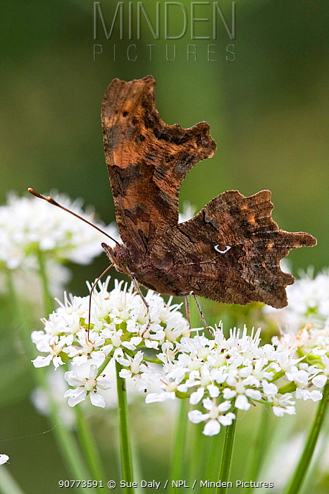 Comma Butterfly (Polygonia c-album), Jersey, British Channel Island, May.