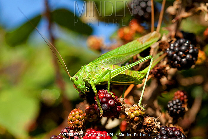 Great green bush-cricket (Tettigonia viridissima) on blackberry, Sark, British Channel Islands, October.
