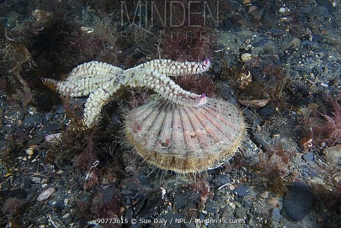 Spiny Starfish (Marthasterias glacialis) preying on Scallop (Pecten maximus) Isle of Man, July.