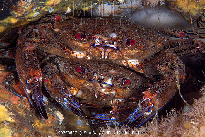 Velvet swimming crabs (Necora puber)  mate guarding - male guarding female prior to mating Isle of Man, July 2015