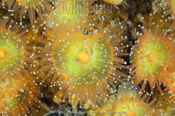 Jewel anemones (Corynactis viridis) Sark, British Channel Islands, July.