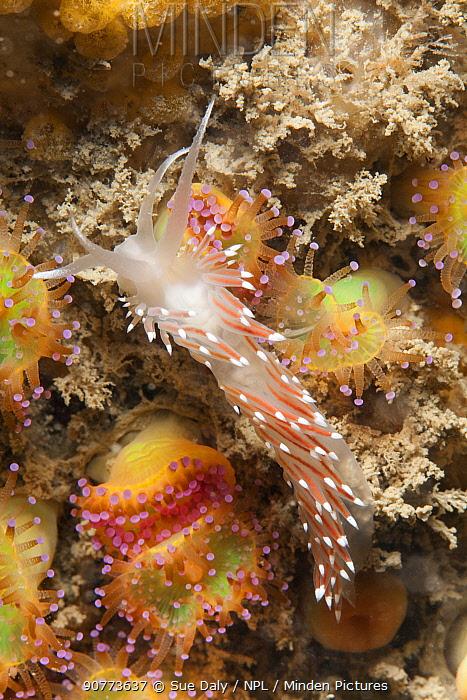 Scarlet lady nudibranch (Flabellina browni) Sark, British Channel Islands, July.