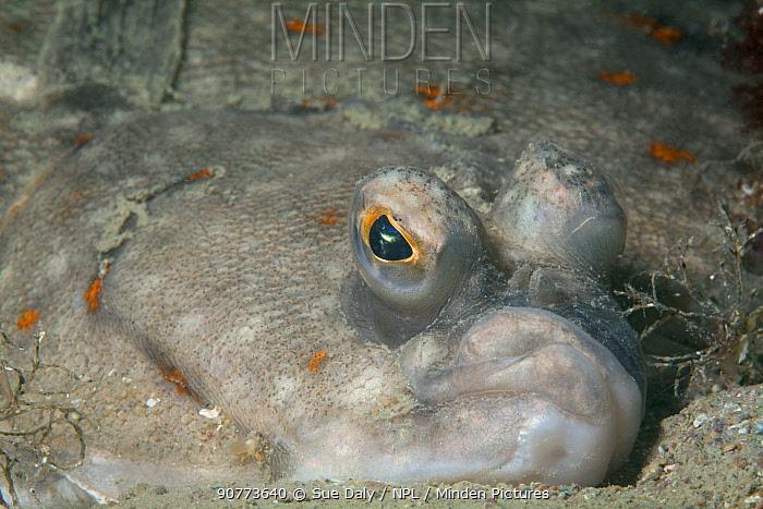European plaice (Pleuronectes platessa) close up, Jersey, British Channel Islands, June.