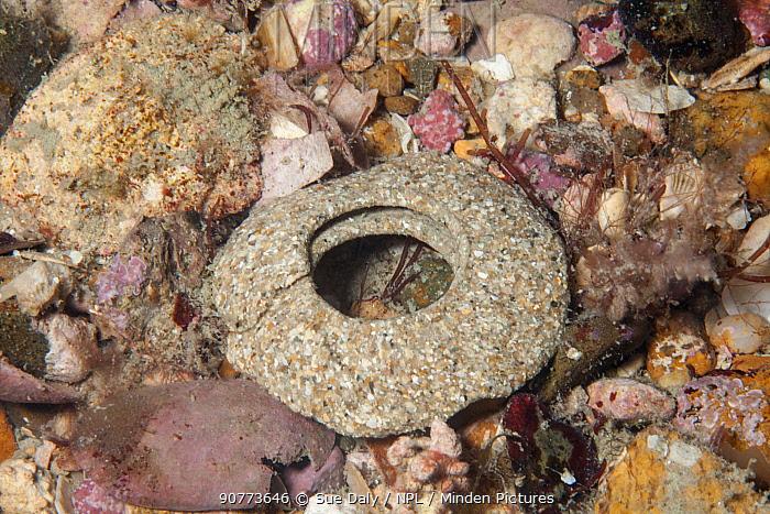 Egg mass of Necklace shell (Euspira catena) Jersey, British Channel Islands, June 2015