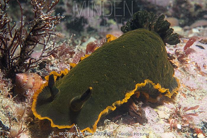 Nudibranch (Dendrodoris limbata) Jersey, British Channel Islands, June.