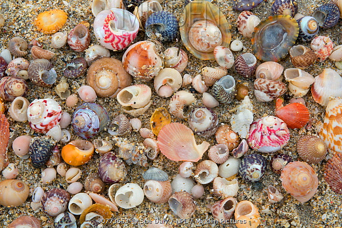 Various shells on Shell Beach, Herm, British Channel Islands, June 2016